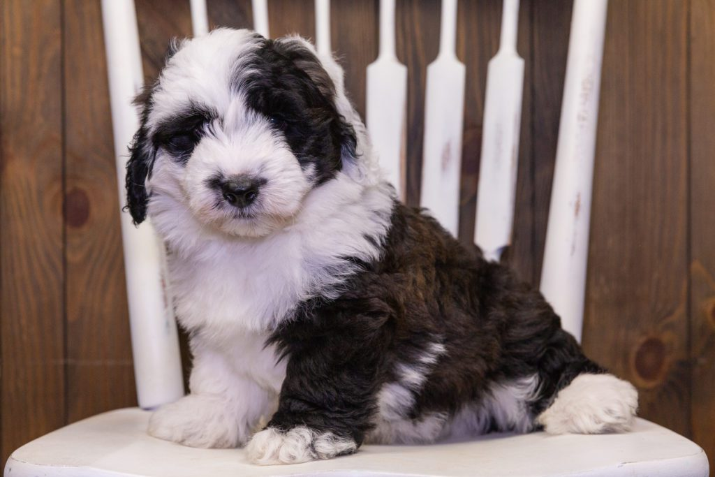Dakota is an F1 Sheepadoodle that should have  and is currently living in Wisconsin