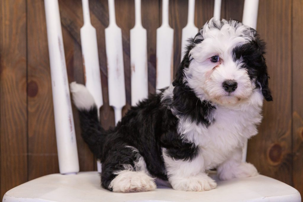 A picture of a Dash, one of our Mini Sheepadoodles puppies that went to their home in Massachusetts
