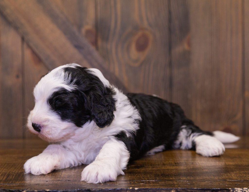 Dash is an F1 Sheepadoodle that should have  and is currently living in Massachusetts