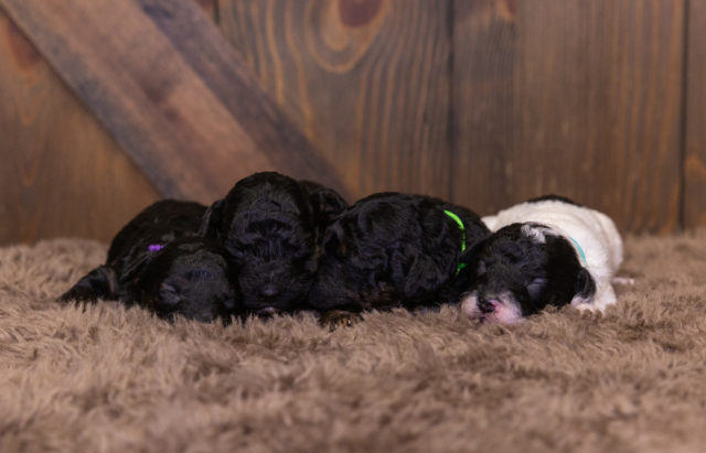 A litter of Mini Poodles raised in Iowa by Poodles 2 Doodles
