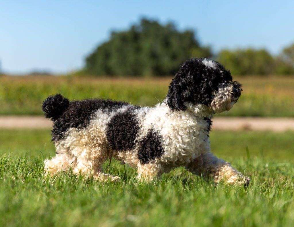 A picture of one of our Poodle father's, Harold.