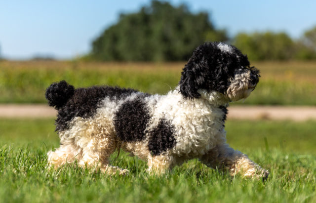 A litter of Mini Sheepadoodles raised in Iowa by Poodles 2 Doodles