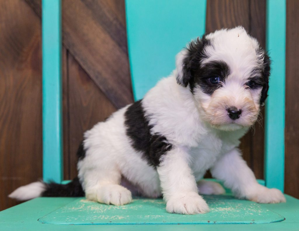 A picture of a Flame, one of our Standard Sheepadoodles puppies that went to their home in Minnesota