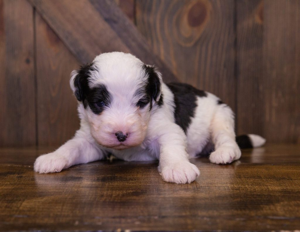 Flame is an F1 Sheepadoodle.