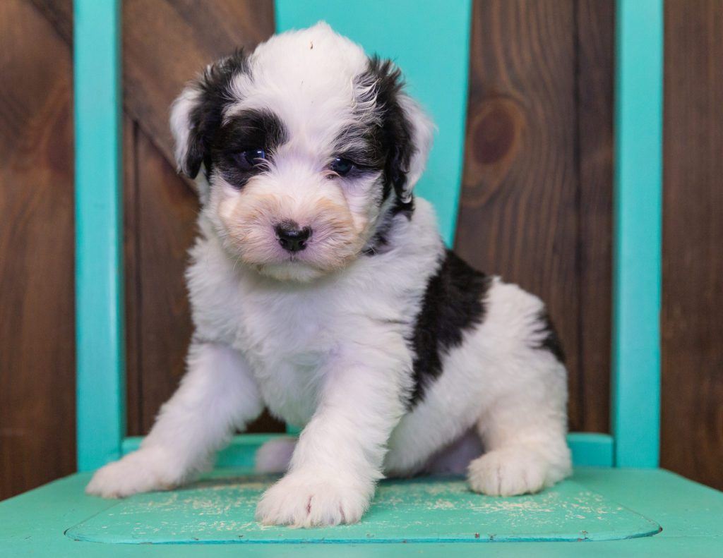Flame is an F1 Sheepadoodle that should have  and is currently living in Minnesota
