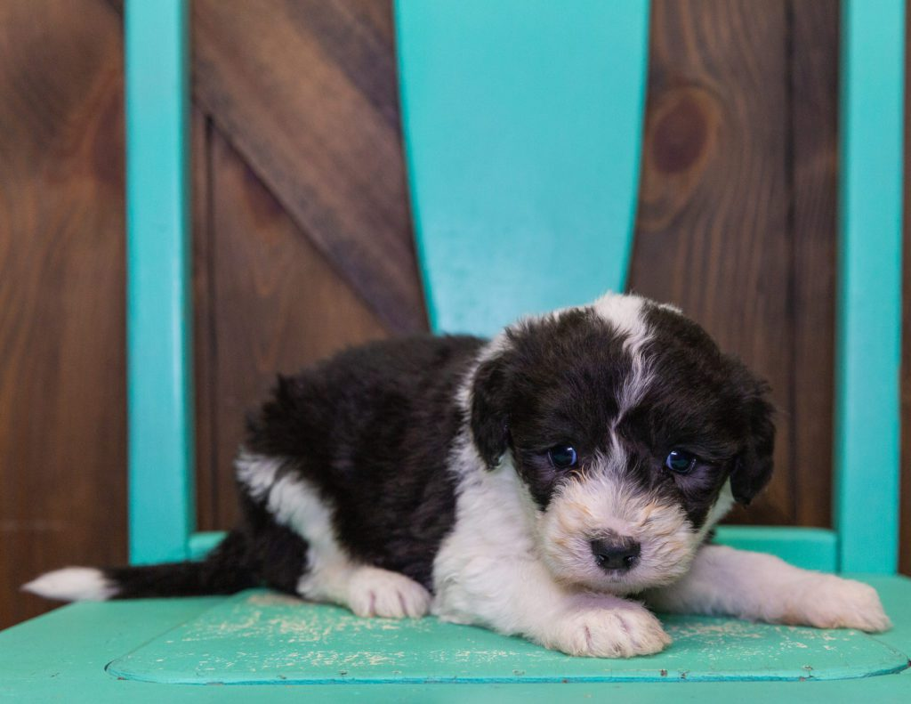 A picture of a Flo, one of our Standard Sheepadoodles puppies that went to their home in Massachusetts