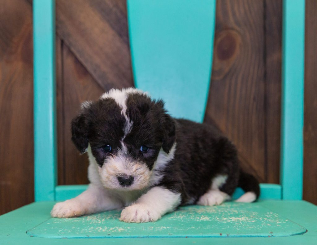 Flo is an F1 Sheepadoodle that should have  and is currently living in Massachusetts