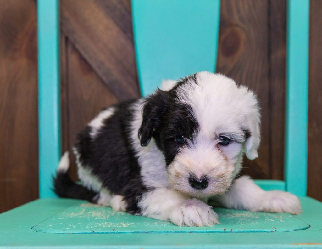 A picture of a Fluffy, one of our Standard Sheepadoodles puppies that went to their home in New York