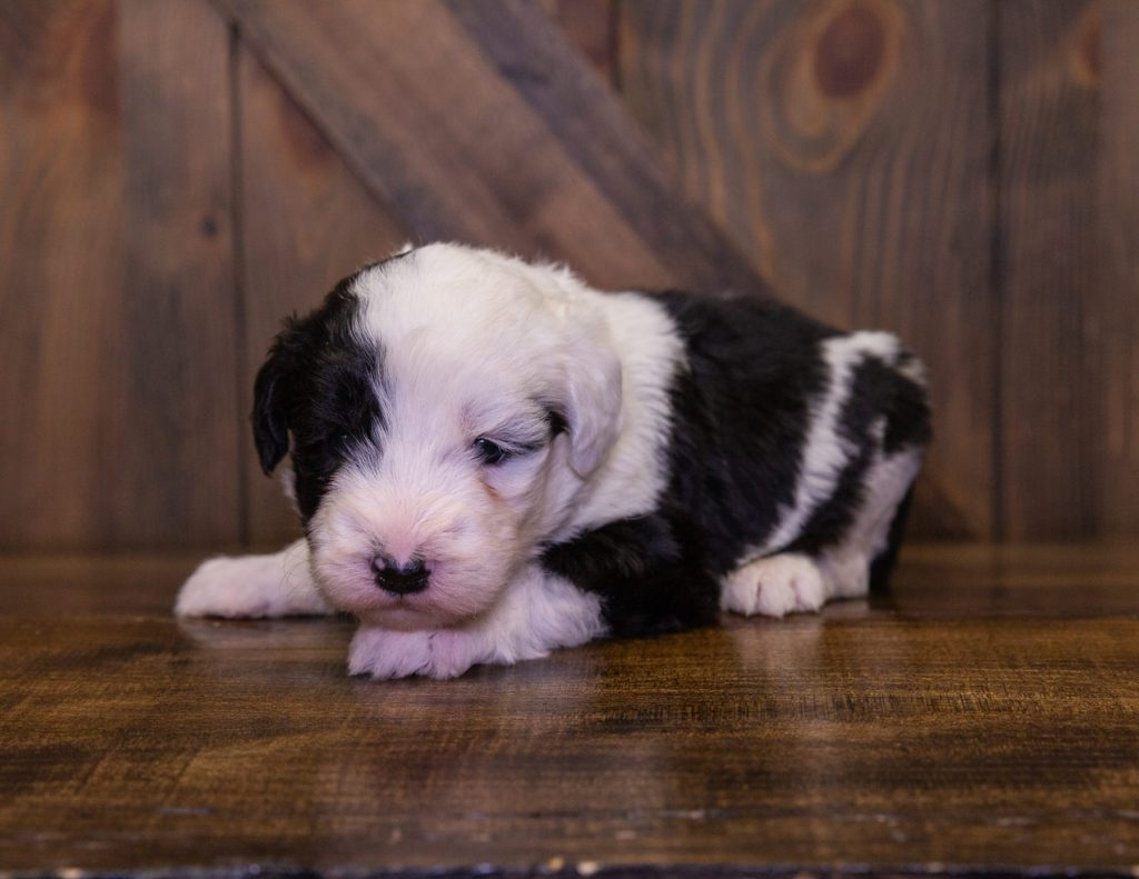 Fluffy is an F1 Sheepadoodle.