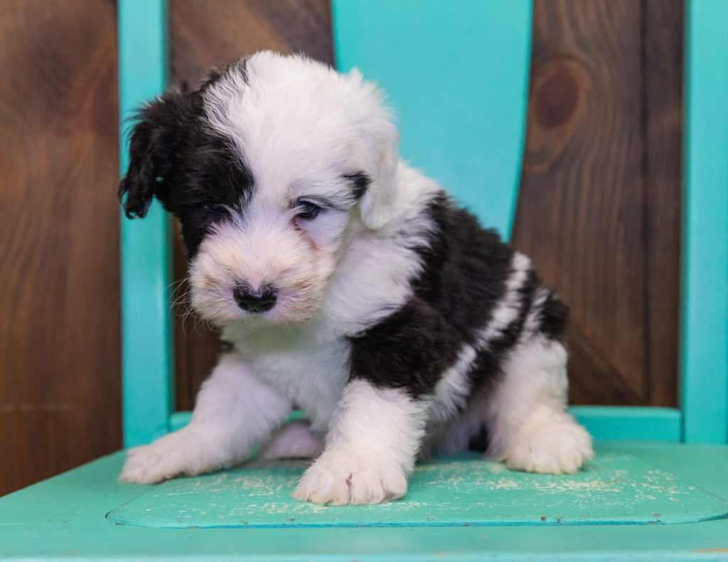 Fluffy is an F1 Sheepadoodle that should have  and is currently living in New York