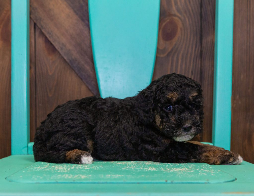 A picture of a Gary, one of our Mini Poodles puppies that went to their home in New Jersey