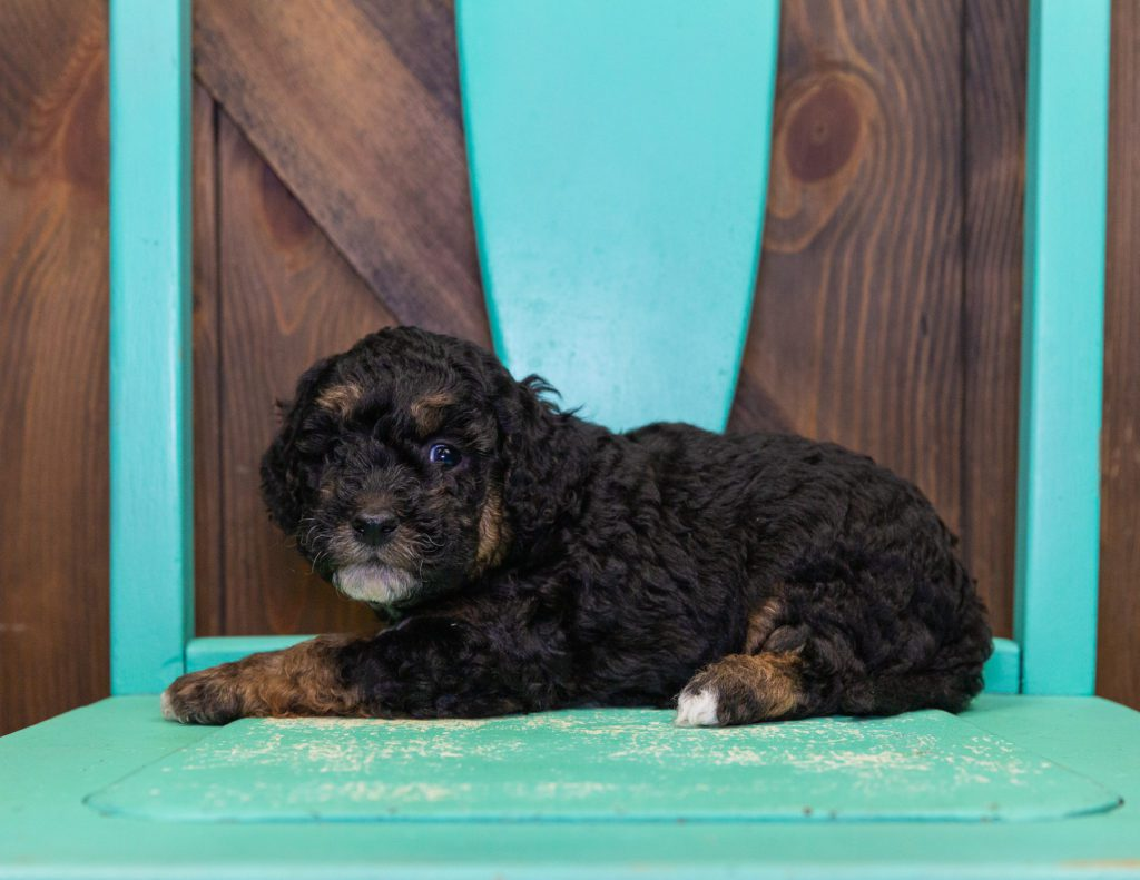Gary is an  Poodle that should have  and is currently living in New Jersey