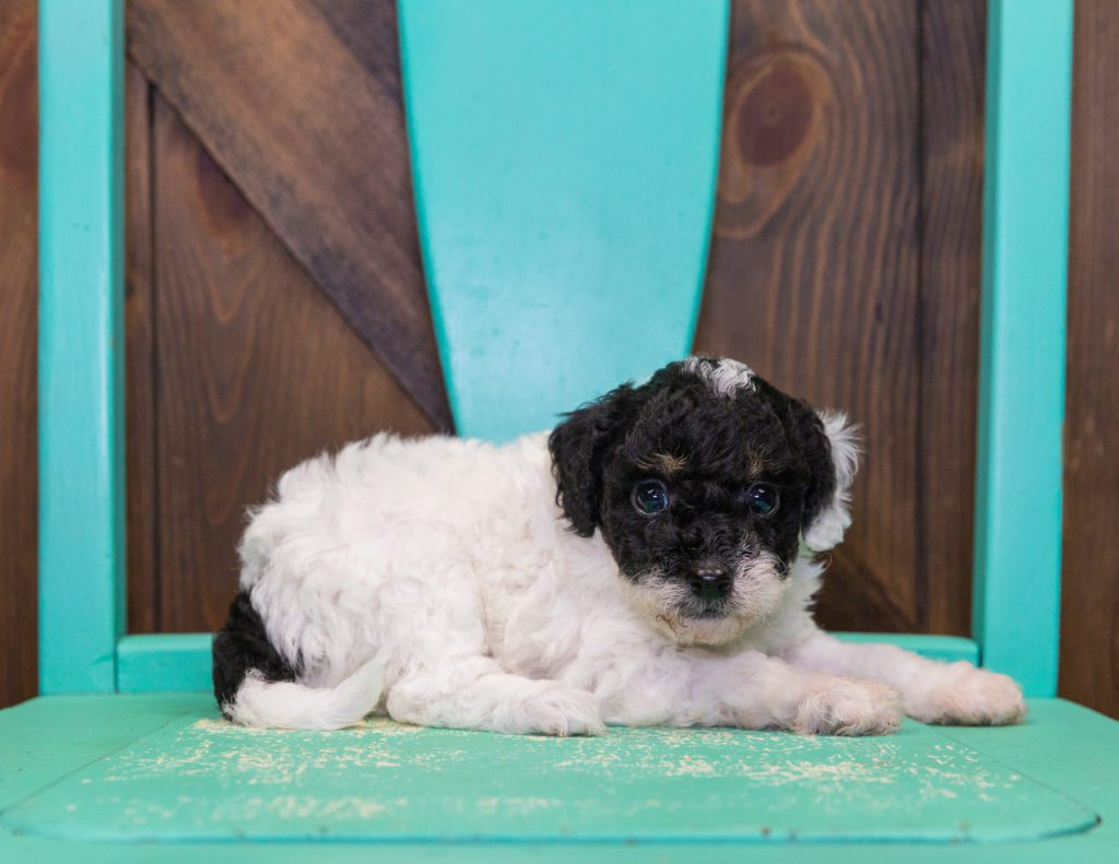A picture of a Gracie, one of our Mini Poodles for sale