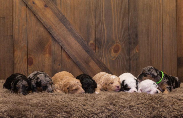 A litter of Mini Bernedoodles raised in Iowa by Poodles 2 Doodles