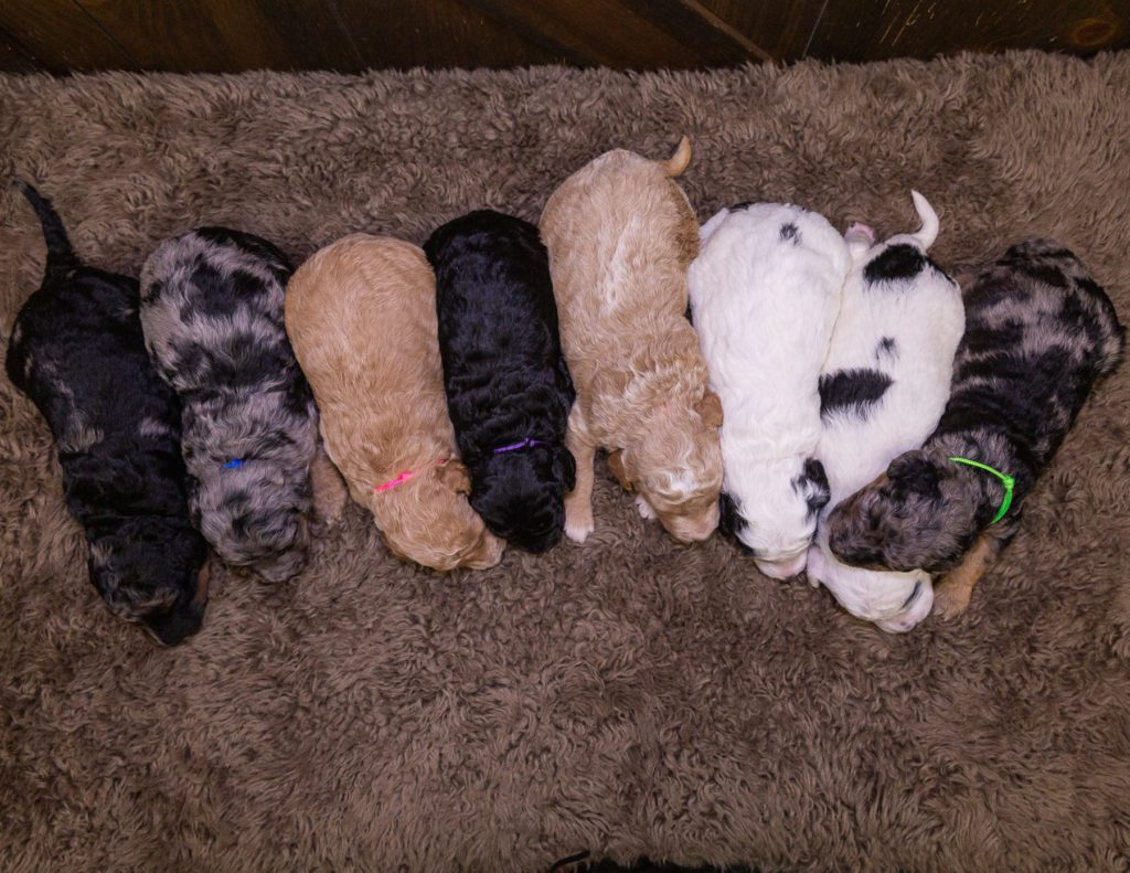 This litter of Bernedoodles are of the F1BB generation.
