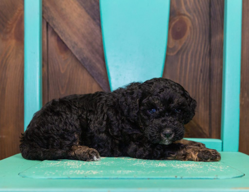A picture of a Gyro, one of our Mini Poodles for sale