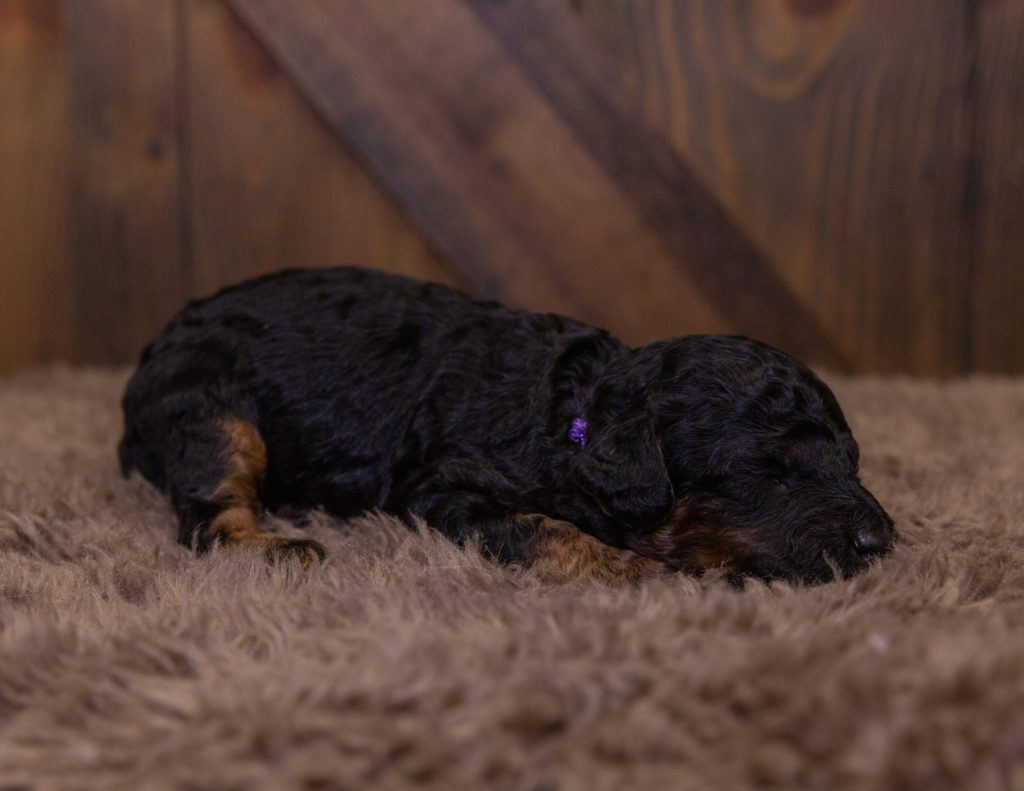 A picture of a Hallie, one of our Mini Bernedoodles for sale