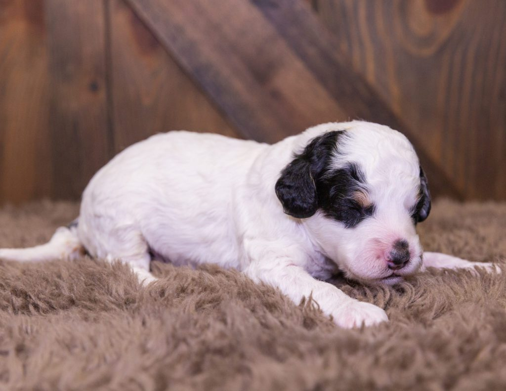 A picture of a Hector, one of our Mini Bernedoodles for sale