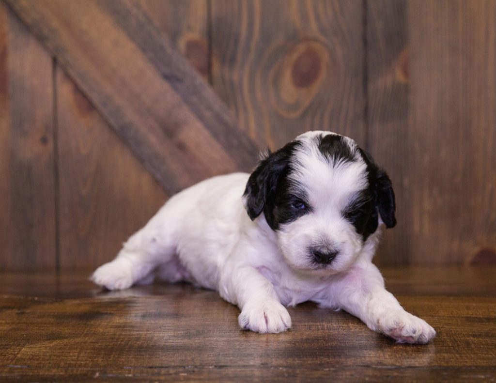 A picture of a Idget, one of our Mini Sheepadoodles for sale