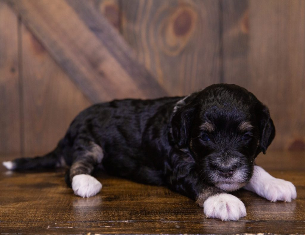 A picture of a Iris, one of our Mini Sheepadoodles for sale