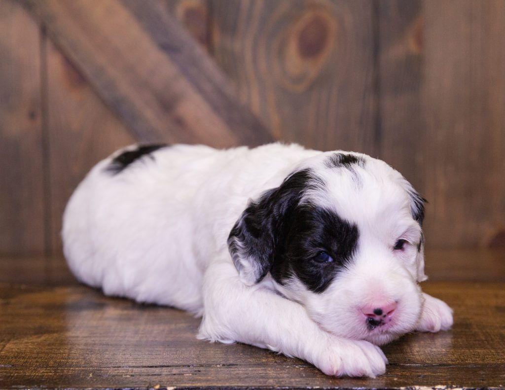 A picture of a Irwin, one of our Mini Sheepadoodles puppies that went to their home in Illinois