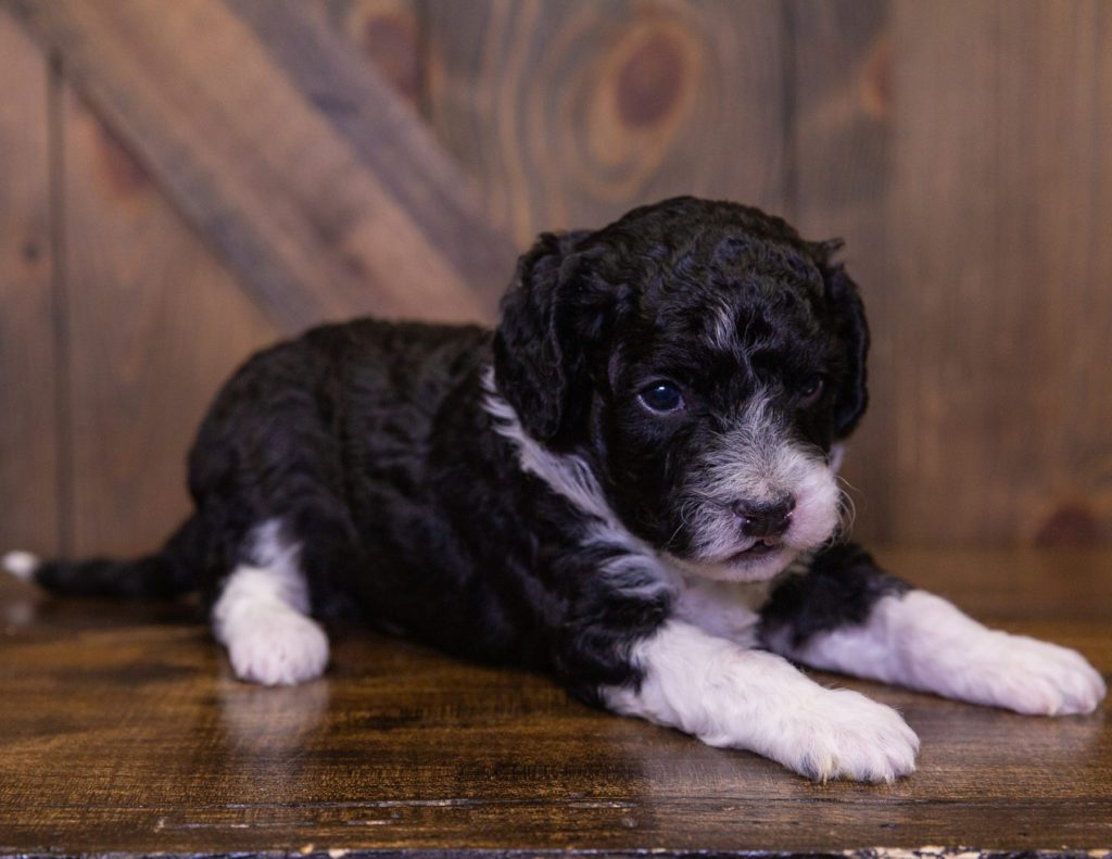 A picture of a Izzy, one of our Mini Sheepadoodles for sale