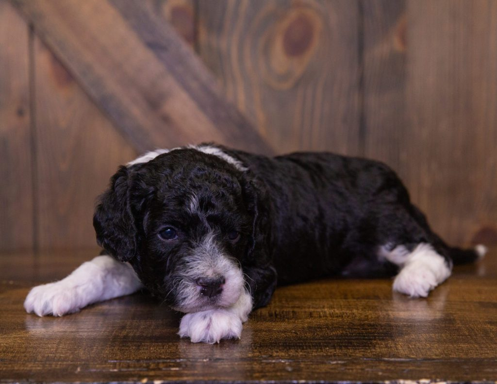 Izzy is an F1B Sheepadoodle.
