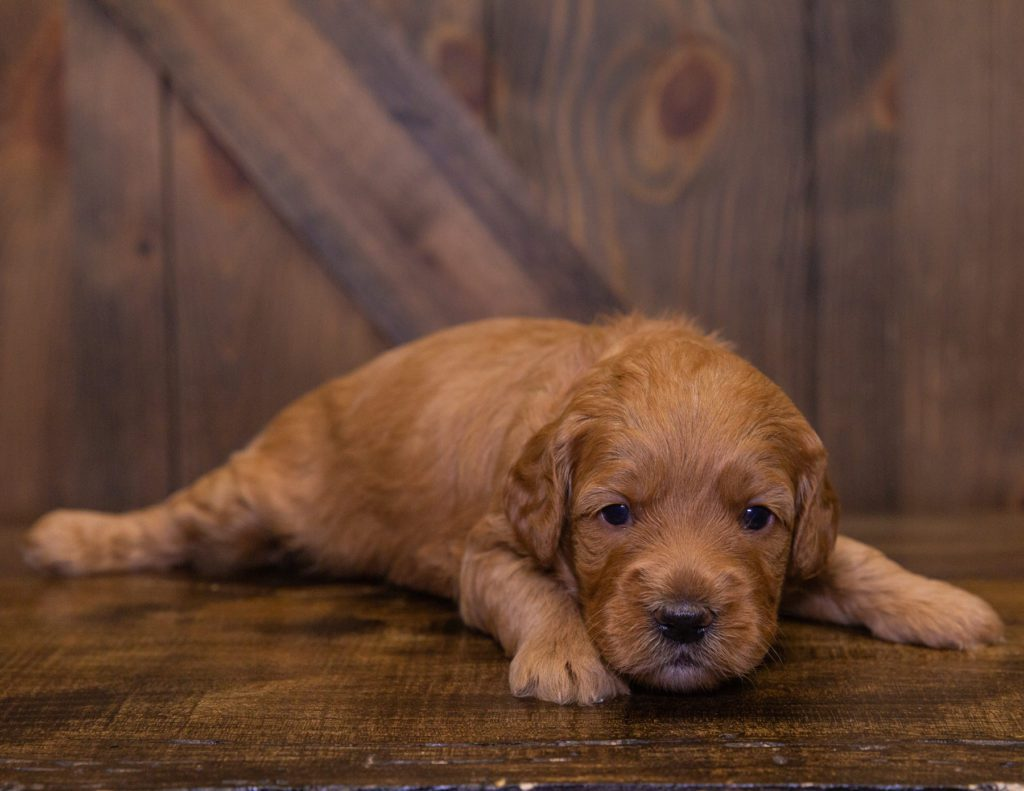 A picture of a Jayde, one of our Mini Goldendoodles puppies that went to their home in South Dakota