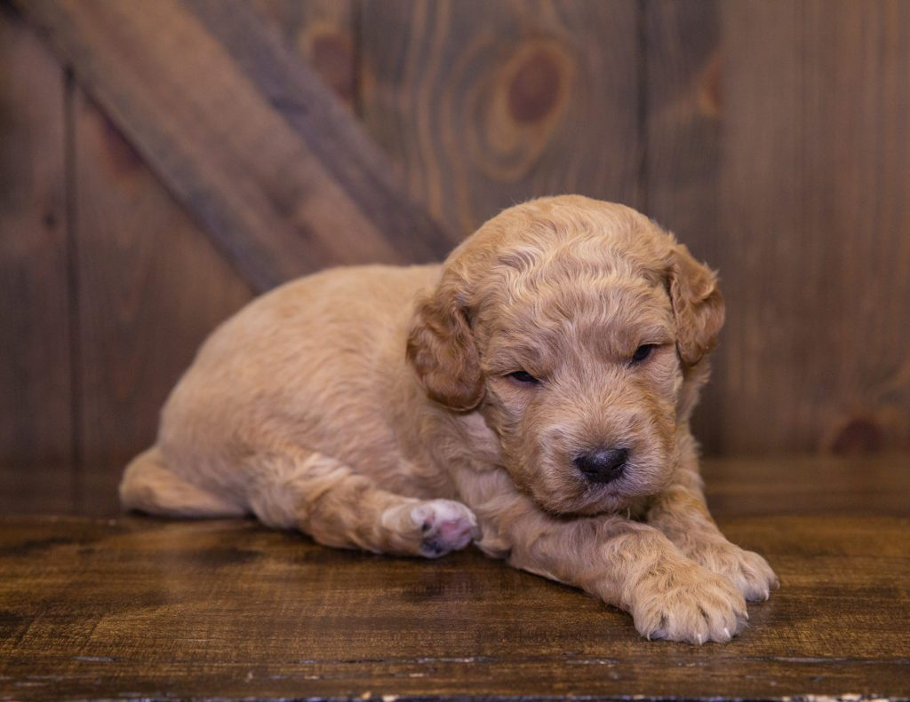 A picture of a Jett, one of our Mini Goldendoodles for sale