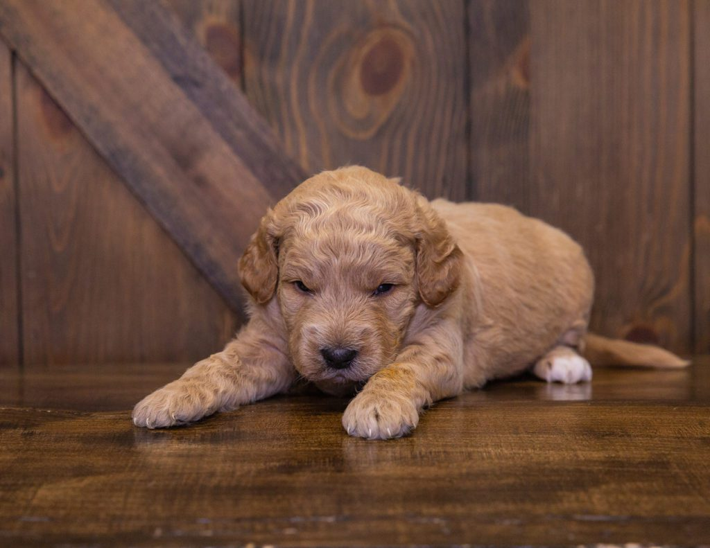 Jett is an F1 Goldendoodle.