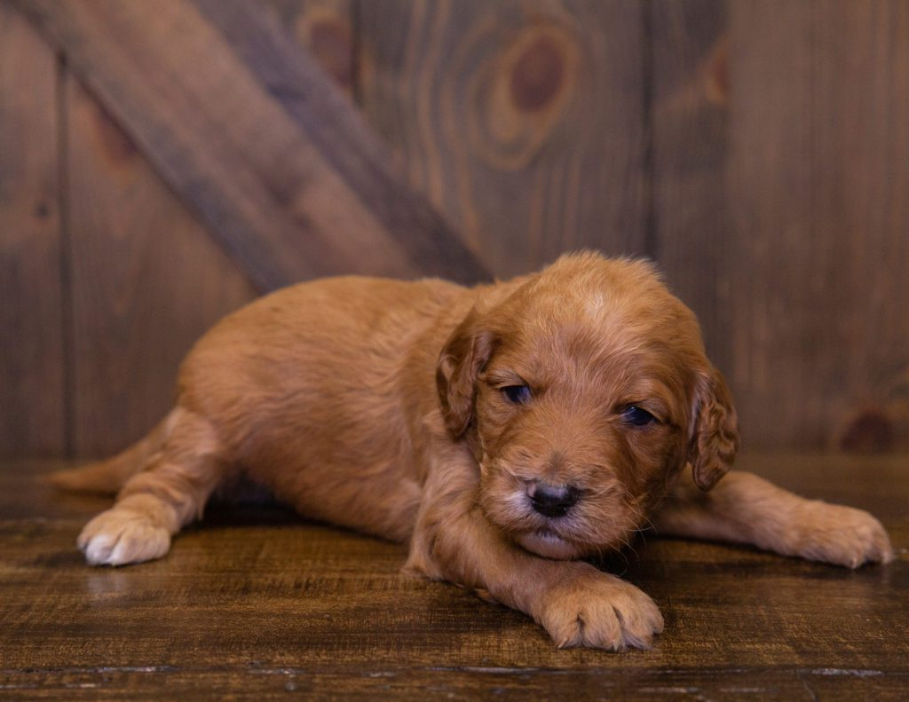 A picture of a Kain, one of our Standard Irish Doodles for sale