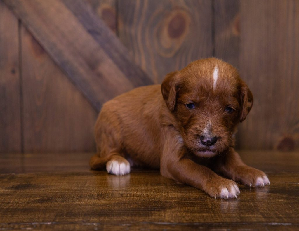 A picture of a Karen, one of our Standard Irish Doodles for sale