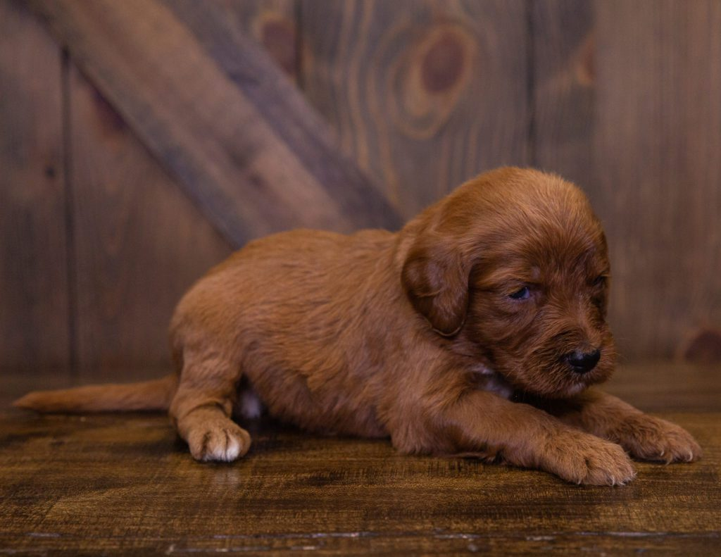 A picture of a Kaya, one of our Standard Irish Doodles for sale
