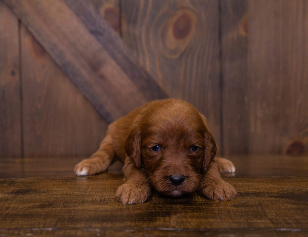 Kaya came from Ginger and Scout's litter of F1 Irish Doodles