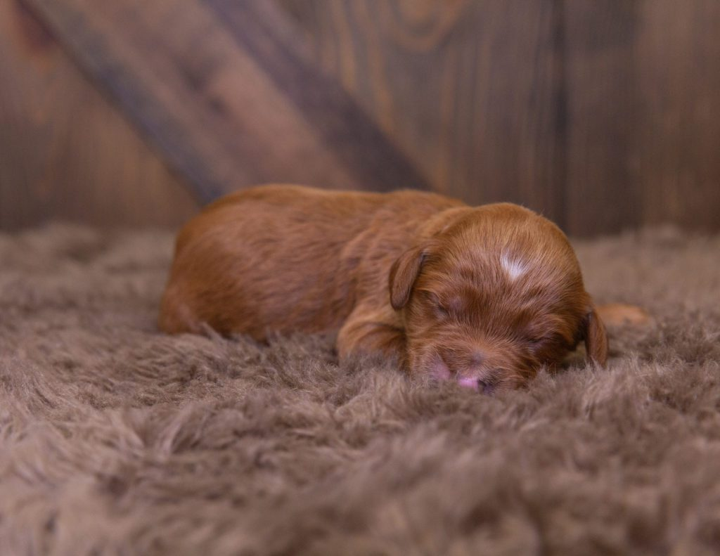 A picture of a Kelly, one of our Standard Irish Doodles for sale