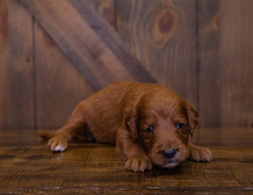 A picture of a Kora, one of our Standard Irish Doodles puppies that went to their home in Washington