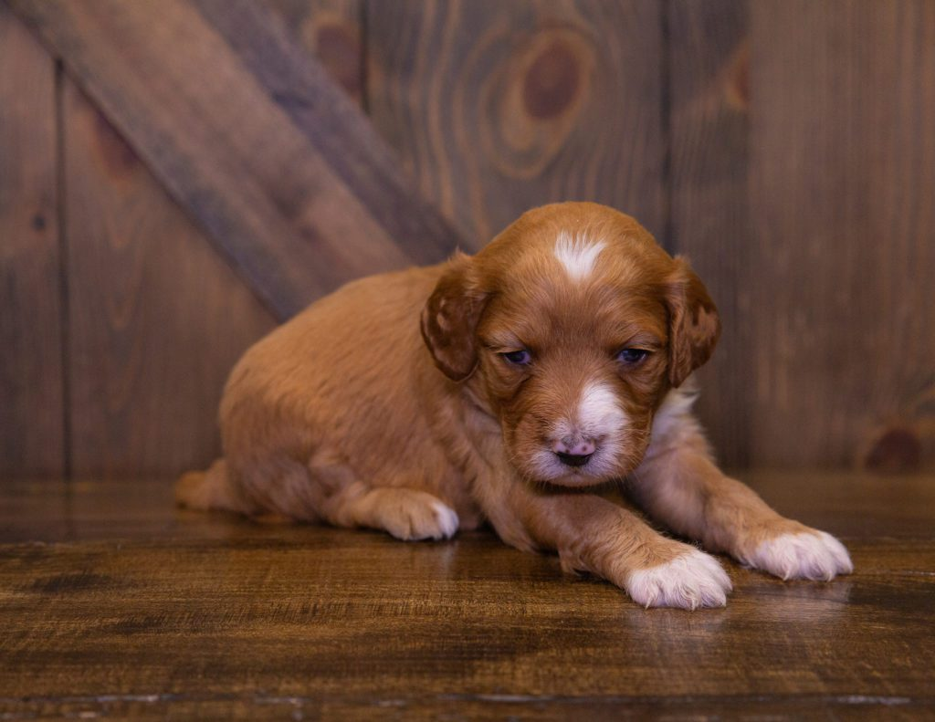 A picture of a Kya, one of our Standard Irish Doodles puppies that went to their home in Missouri