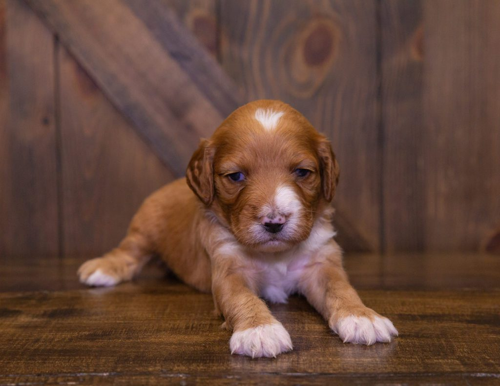 A litter of Standard Irish Doodles raised in Iowa by Poodles 2 Doodles