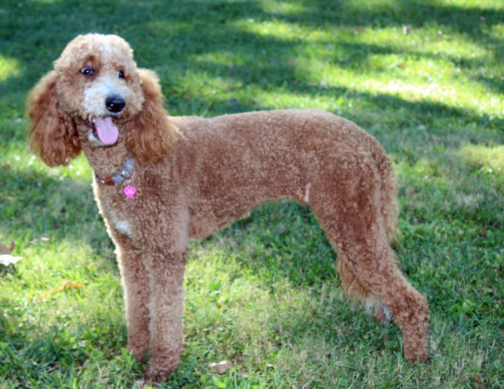 LuLu is an F1B Goldendoodle and a mother here at Poodles 2 Doodles, Sheepadoodle and Bernedoodle breeder from Iowa