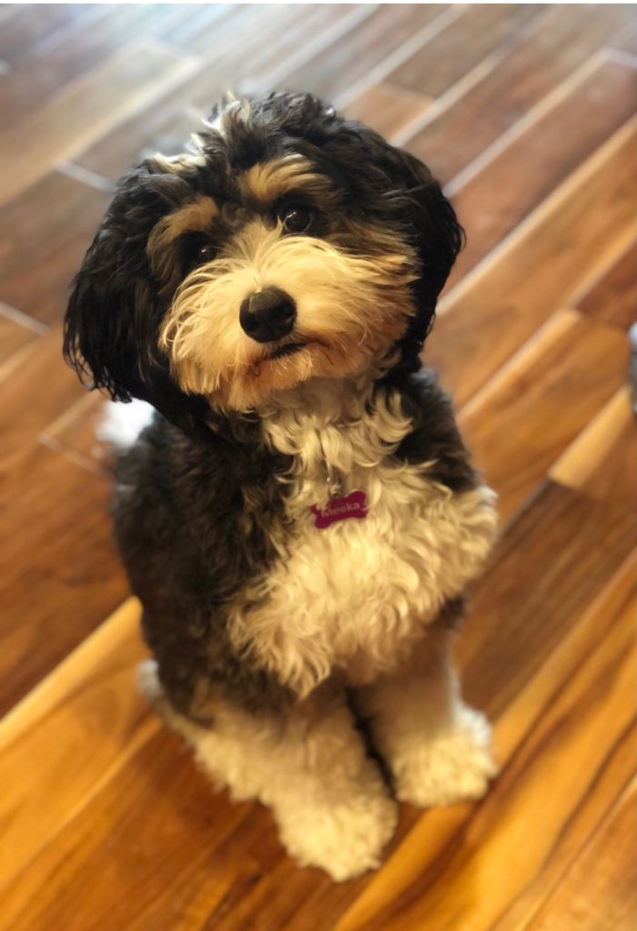 A picture of one of our Bernedoodle mother's, Meeka.