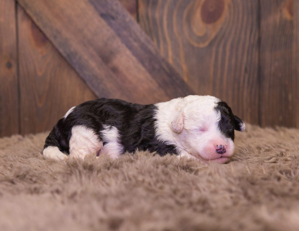 A picture of a Lexi, one of our Mini Sheepadoodles for sale