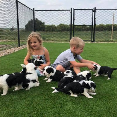 Kids on turf with Mini Sheepadoodle puppies
