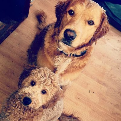 Mini Gooldendoodle and Golden Retriever