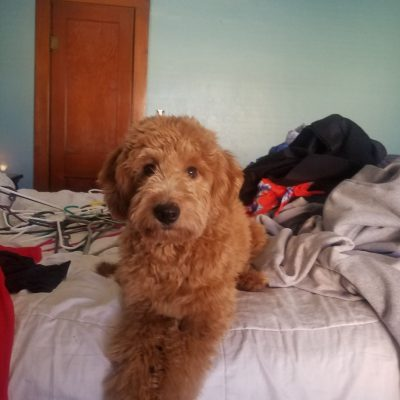 Red Mini F1 Goldenbdoodle available