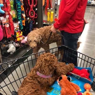 Goldendoodle and Irish Doodle at Pet Smart