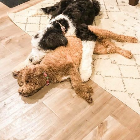 F1 Sheepadoodle and Mini Goldendoodle sound asleep
