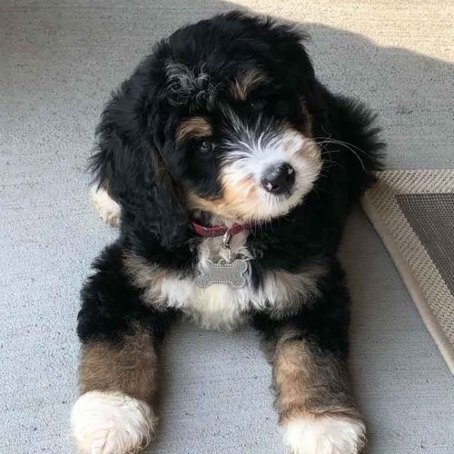 One of our beautiful F1 Miniature Bernedoodle puppies that went to a family in Florida