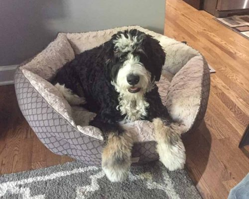A Bernedoodle puppy that went home to a family in Texas