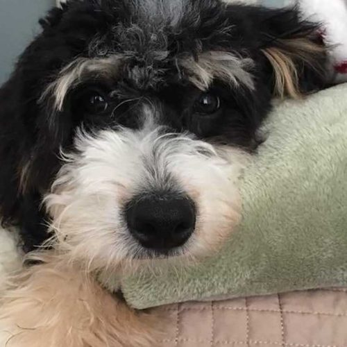 An adorable picture of one of our Bernedoodles, look at her eyes!
