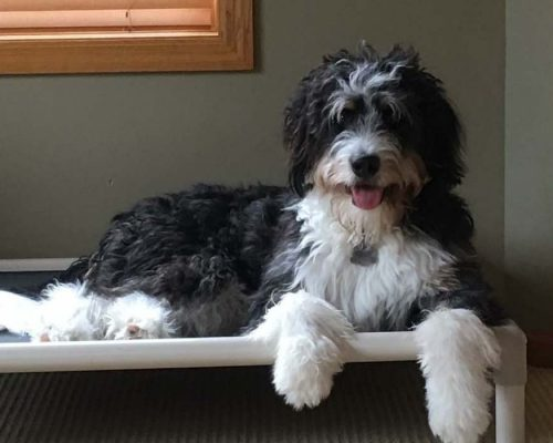 One of our medium F1b Bernedoodles relaxing on a doggy cot